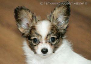 Продаю щенков папильона, купить щенка папильона в минске, Папильон, папийон, континентальный той спаниель, щенки