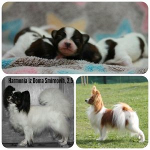 Papillon, papillon puppies,