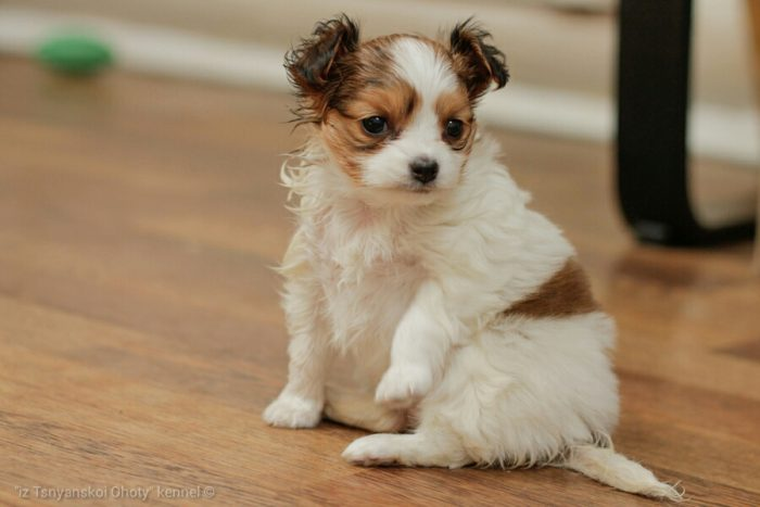Papillon puppy, papillon puppies,