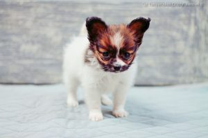 Papillon puppy for sale