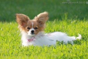 Papillon for sale, papillon dog, papillon kennel, papillon puppies, папийон, папильон, щенки папильона, продаются щенки папийона