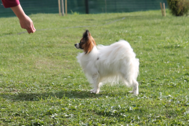 Papillon, puppies, kennel