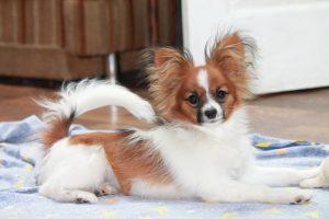 Papillon, papillon puppies for sale, papillon kennel, papillon stud dog, cute dogs, show dogs, собака бабочка, папильон, папийон, континентальный той спаниель, щенки папильона, продаются щенков папильона, питомник папильонов, племенные кобели папильонов для вязок, выставочные собаки, маленькие собачки, красивые породы собак