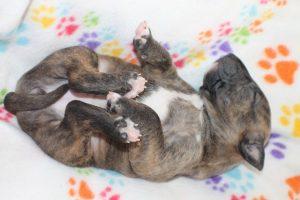 Miniature bullterrier for sale Miniature bullterrier, mbt, minibull, минибуль, миниатюрный бультерьер, щенок Буля