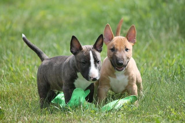 Kennel Miniature bull terrier, puppies mbt, minibull, bull love,миниатюрный бультерьер, енки бультерьера, питомник миниатюрных бультерьеров