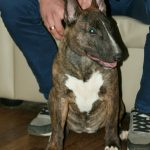 "Miniature bull terrier, ""bull"" type"
