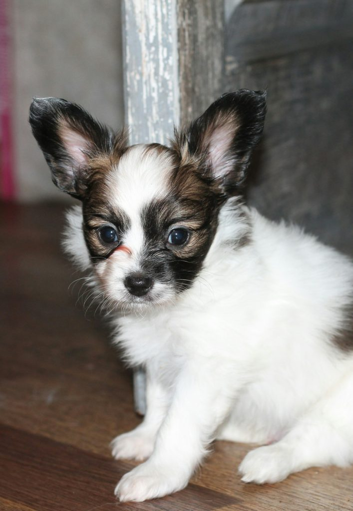 Papillon boy for sale
