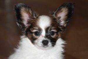 Щенок папильона, papillon puppy