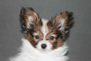 Papillon puppy, 10 weeks