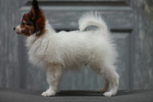 Papillon boy 12 weeks, for sale