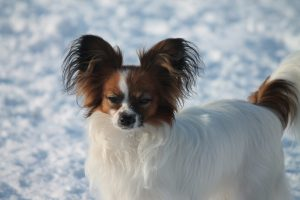 Papillon puppy 8 mnth