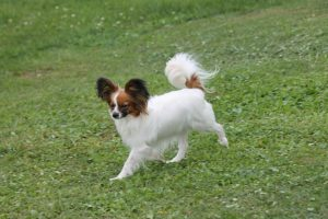 Papillon female, 13 mnth
