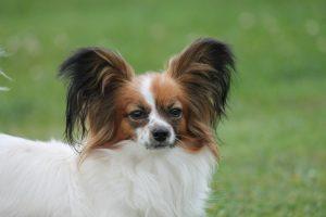Papillon, papillon kennel, cute small breed, cute dog, папильон, папийон, континентальный той спаниель, щенки папильона, питомник папильонов, питомник цнянская охота