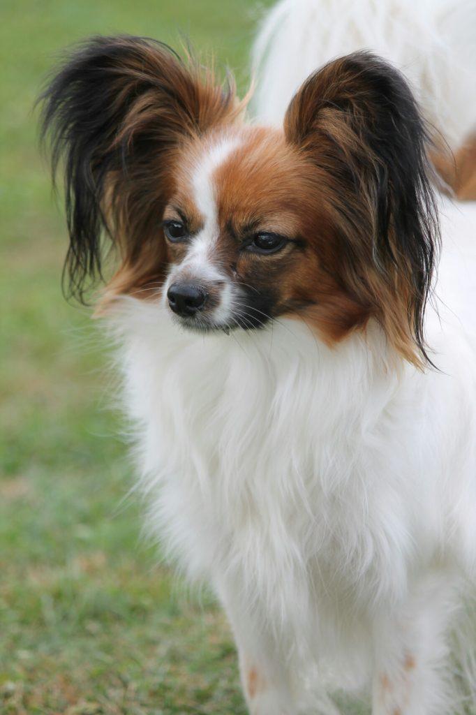 Папильон Кася Papillon, papillon kennel, cute small breed, cute dog, папильон, папийон, континентальный той спаниель, щенки папильона, питомник папильонов, питомник цнянская охота