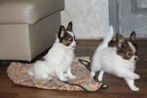 Щенки папильона в Беларуси, papillons puppies for sale in belarus