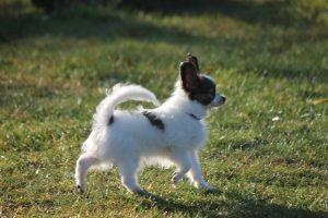 Щенок папильона, 11, 5 недель, papillon puppy 11,5 weeks