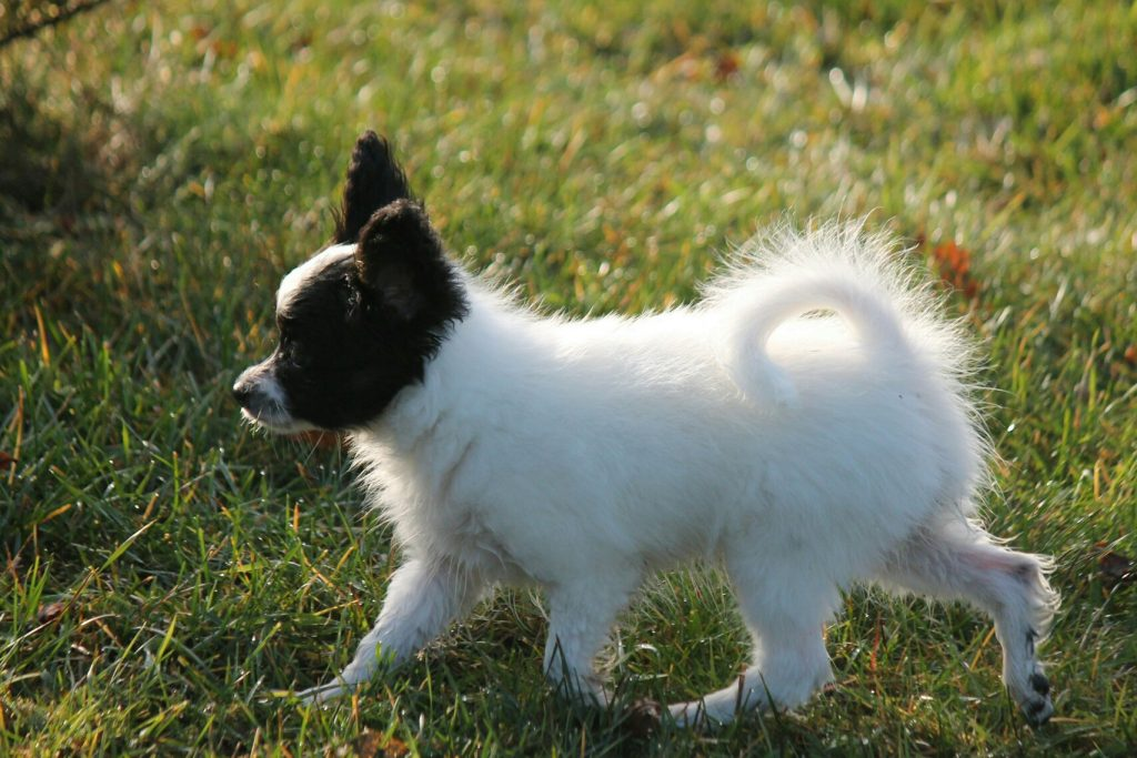 Papillon puppy, 11,5 weeks for sale