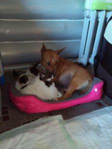 Миниатюрный бультерьер и щенки папильона, miniature bullterrier & papillon puppies