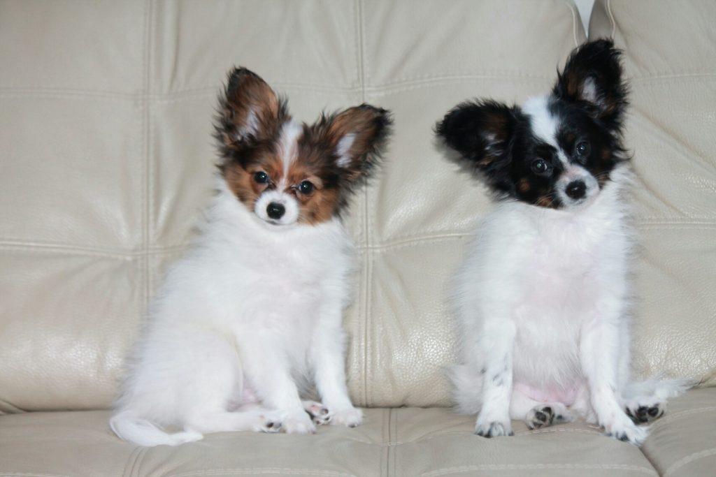 Papillon, apillon kennel, puppies for sale, щенок папильона в Беларуси, питомник папильонов