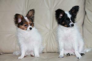 Продаются Щенки папильона, papillon puppies for sale