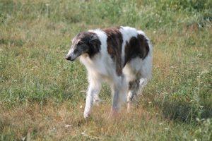 Русская псовая борзая, питомник цнянская охота