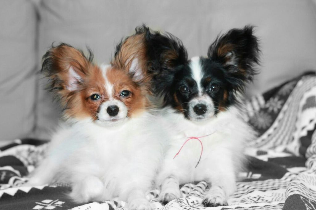 Papillon puppies 4 month old, available!