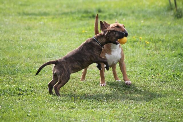 Miniature bullterrier, mini bull terrier, bullterrier kennel, миниатюрный бультерьер, питомник миниатюрных булей, буль, мини буль,