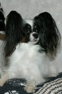 Papillon, papillon kennel, cute dogs
