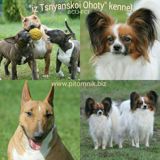 "Papillon & miniature bullterrier dogs in ""Tsnyanskaya Ohota"" kennel"