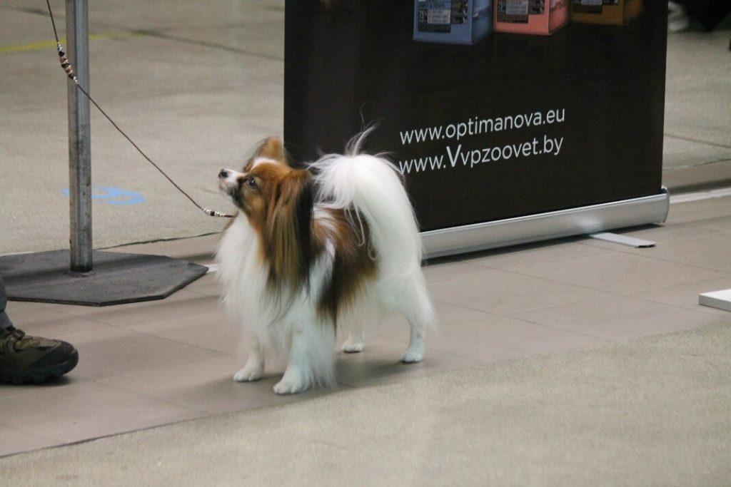 Папильон, папийон, континентальный спаниель, шоу- собаки, Масик, papillon Masik, papillon kennel