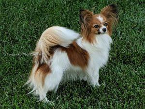 Купить щенка папийона, Papillon, papillon puppies, papillon kennel, papillon puppies for sale, папильон, папийон,