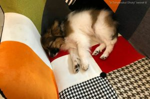 Papillon puppy in a new home in Poland