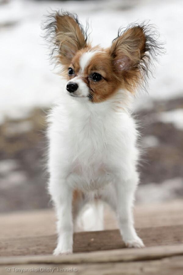Купить щенка папильона, папийон, продается щенок папильона, питомник папильонов, папийонов, papillon, papillon kennel, papillon puppy for sale