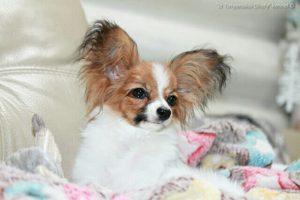 Продаётся щенок папильона, папийон, питомник папильонов в беларуси