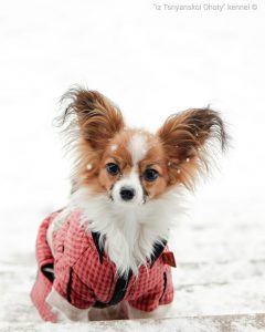 Папильон, папийон, купить щенка папйона, питомник папильонов, papillon puppy for sale