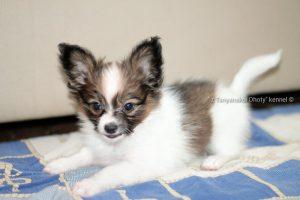 Papillon puppy For Sale los-Angeles, papillon puppy For Sale in USA, Papillon puppy california