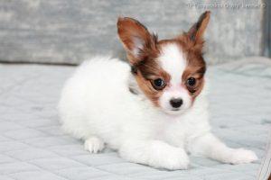 Papillon puppy for sale