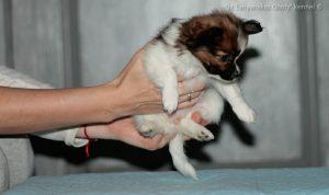 Продаются щенки папильона, щенки папильона в Беларуси, Папильон, папийон, papillon puppy For sale, papillon stud dog