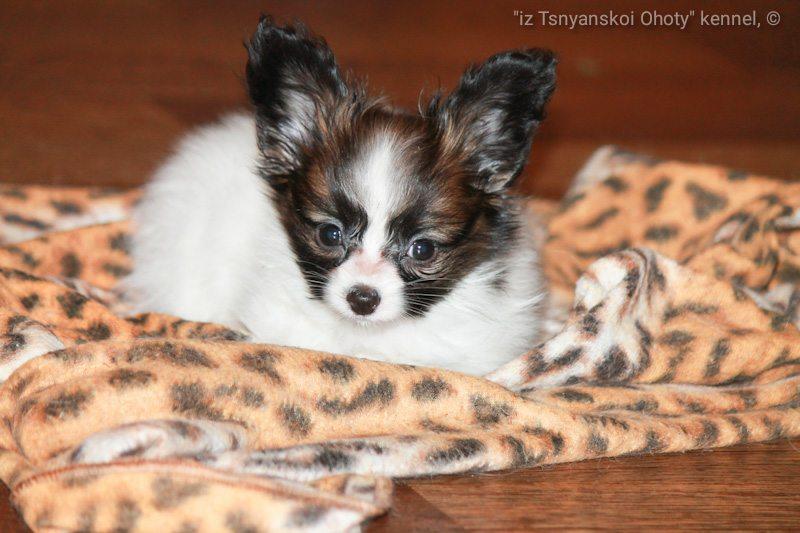 Papillon puppy for sale, available papillon puppy, продается щенок папильон, купить щенка папийона