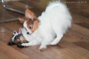 Papillon puppy for sale, available papillon puppy, щенок папильона, продается щенок папийона, купить щенка папийона, купить