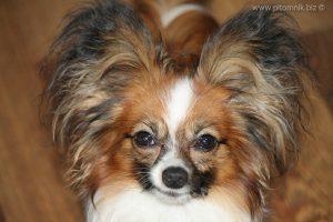 Papillon puppy for sale, available papillon puppy, щенок папильона, продается щенок папийона, купить щенка папийона, купить папильона, питомник папийонов