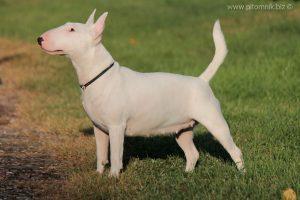 Miniature bullterrier Milli Vannili Venturesome