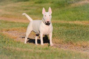 Miniature bull terrier Milli Vannili Venturesome