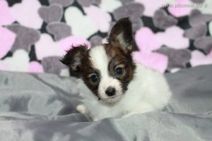 Papillon kennel, Papillon litter, papillon Belarus, papillon puppy for sale, available papillon puppy, щенки папильона, папийон щенок, продаются щенки папийона, продаю щенка папильона, папильон щенок, свободный щенок папильона