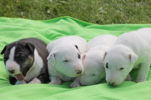 Миниатюрный бультерьер щенки, минибуль, минибулька, питомник миниатюрных бультерьеров, продаются щенки минибуля