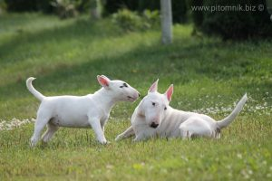 Щенки миниатюрного бультерьера, продаются щенки миниатюрного бультерьера, щенок минибультерьера, минибуль щенок продаю,