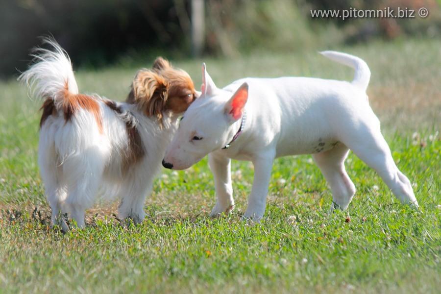 Папильон, щенки папильона, питомник папийонов, купить щенка папильона, продаю щенка папильона, миниатюрный бультерьер, щенки миниатюрного бультерьера, продаю щенка миниатюрного бультерьера, минибуль, бультерьер, питомник минибулей, щенки минибули, papillon puppies, minibull puppies, miniature bullterrier, miniaturowy bull, szczeniak